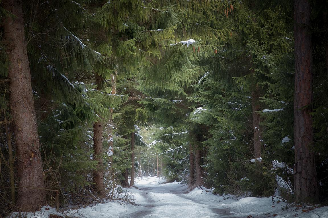 Fichten in meinem Lieblingswald